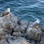 Möwen an der Kvarner Bucht (Bild: CBL)